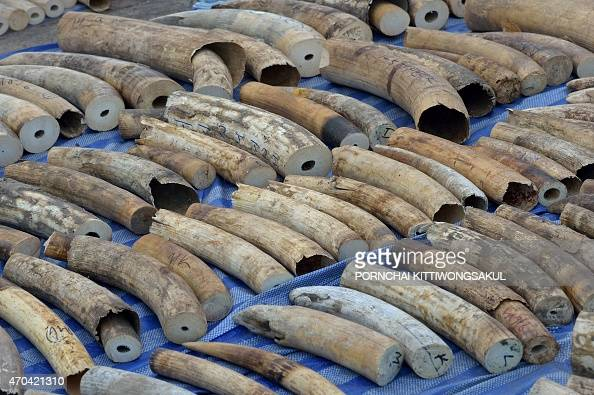 Confiscated elephant tusks are displayed during a press conference at the Customs Bureau in Bangkok on April 20 2015 Thai customs seized 739 pieces...