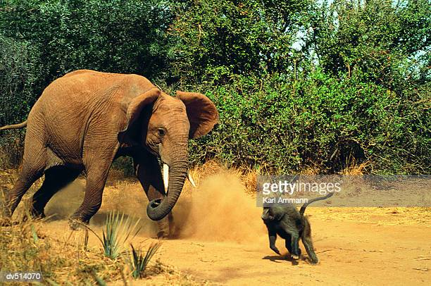 Confrontation between African Elephant and Baboon