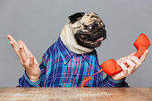 Confused pug dog with man hands in checkered shirt holding red phone receiver over grey background