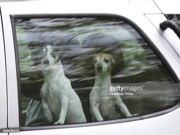 Congress Vice President Rahul Gandhi sitting inside behind his dogs after meeting with Congress Sonia Gandhi on his return after his 56day long break...