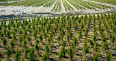 Rows of conifers in plant nursery
