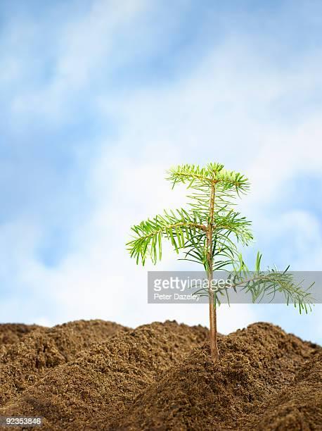 Conifer sapling in soil against sky.