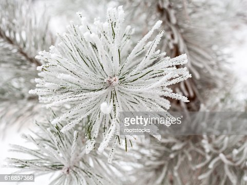 Coniferous branches covered with hoarfrost : Stock Photo