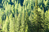 Background of coniferous forest in a sunny day