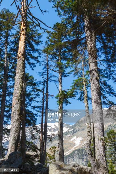 Conifers forest Pont d«Espagne HautesPyrenees department MidiPyrenees region France Europe