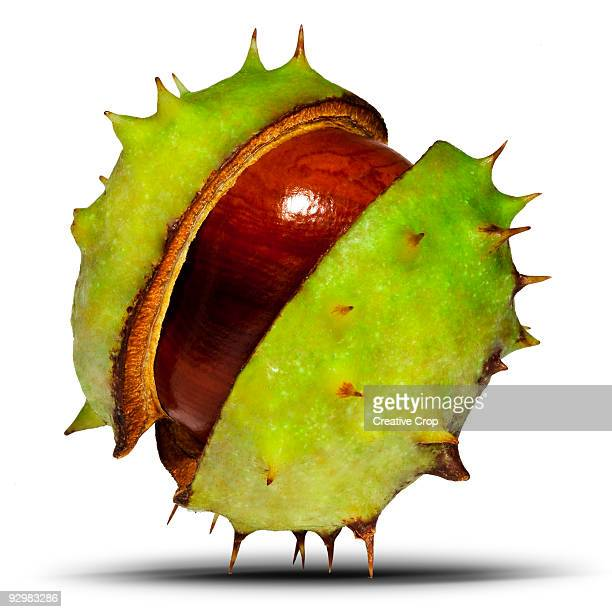 Conker, horse chestnut, Aesculus hippocastanum