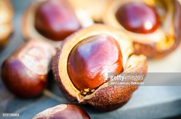 Conkers - seeds of the horse chestnut tree