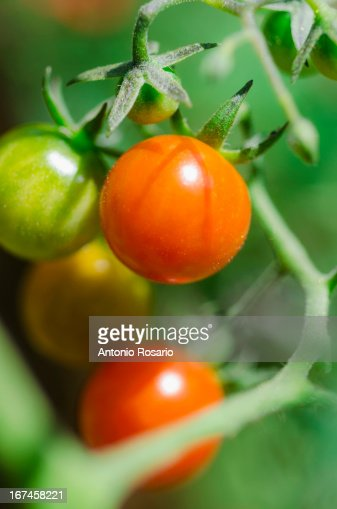 USA, Connecticut, Fresh cherry tomatoes on vine : Stock Photo