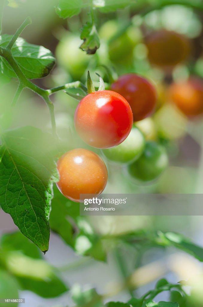 USA, Connecticut, Fresh cherry tomatoes on vine : Stock Photo