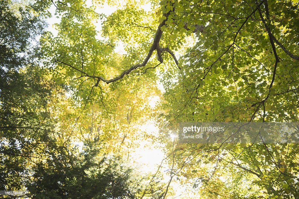 USA, Connecticut, Newtown, Tree canopy : Stock Photo