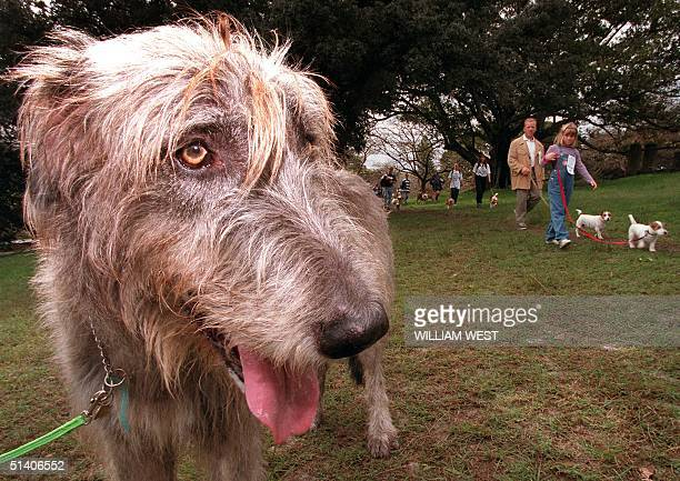 'Connor' an Irish Wolfhound surveys the other participants in the 'Million Paws Walk' in Sydney's Centennial Park 17 May The five kilometer walk...