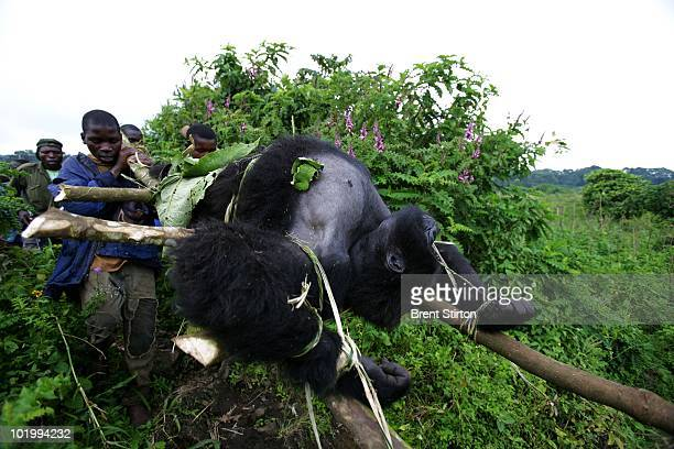 Conservation Rangers from an AntiPoaching unit work with locals to evacuate the bodies of four Mountain Gorillas killed in mysterious circumstances...
