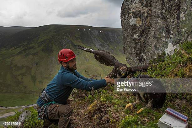 Conservationists Ewan Weston prepares to put two seven and a half week old Golden Eagle chicks back in their nest after attaching GPS satellite tags...