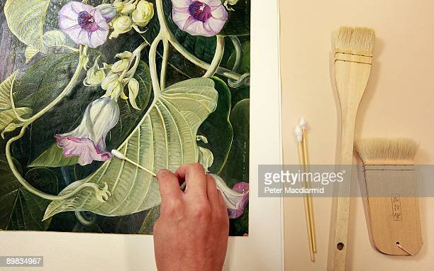 A conservator cleans the surface of a painting by swabbing with huma saliva at the Marianne North Conservation Studio on March 25 2009 at the Royal...