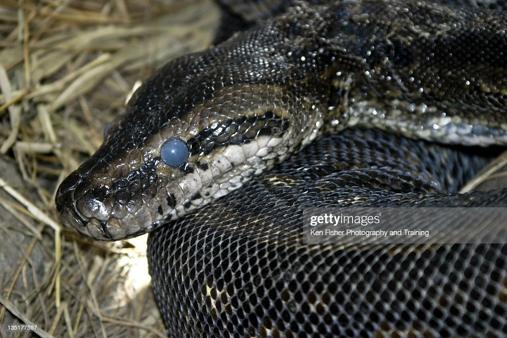 Constrictor Snake : Stock Photo