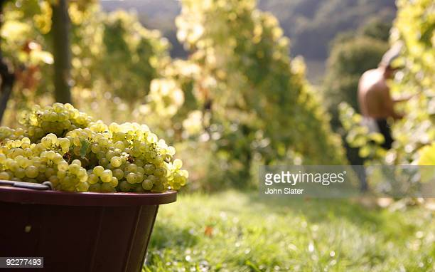 container of grapes in vineyard