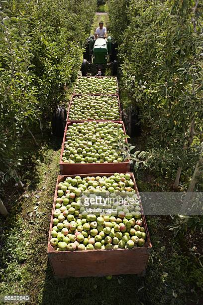 Containers of apples in orchard