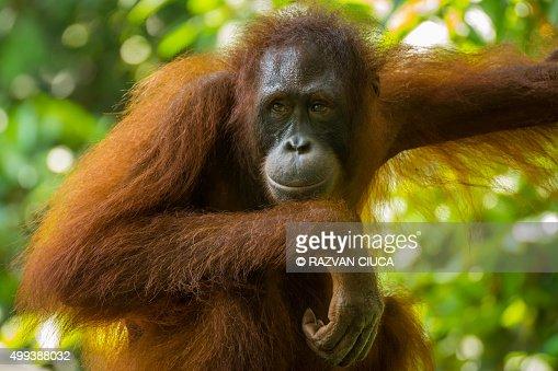 Contemplative orangutan