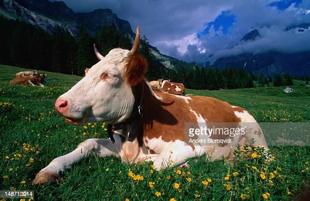 A content alp cow.