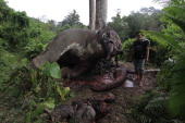 CONTENTIn this photograph taken on July 14 a resident looks at the carcass of a male Sumatran elephant its head and trunks mutilated and ivory tusks...