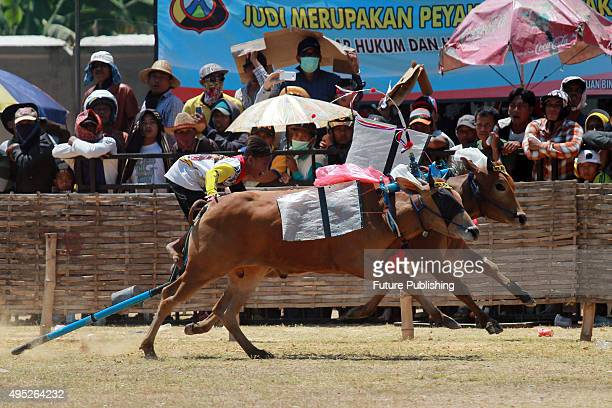 bull race in madura island Horse races are commonplace so also with bull races which representing madura island while goat races, maybe still different in your ear goat races is one of the characteristic of probolinggo town speed of goat when confronted is determinant of the victory.
