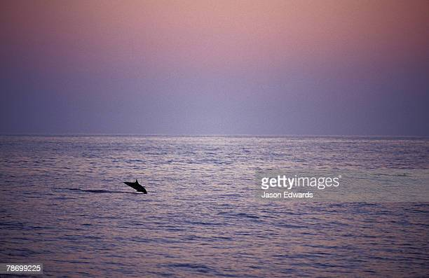A solitary Common Dolphin leaps from a calm sea in sunset's afterglow.