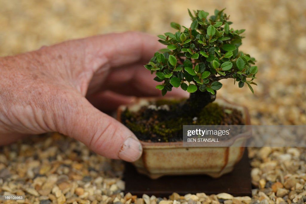 A Contoeaster tree is seen during the Chelsea Flower Show press day in London on May 20, 2013. The world-famous gardening event run by the Royal Horticultural Society (RHS) is celebrating its centenary year.
