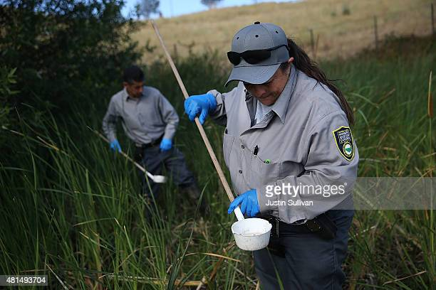 Contra Costa County Mosquito and Vector Control District technician Josefa Cabada checks for mosquito larvae in a retention pond on July 21 2015 in...
