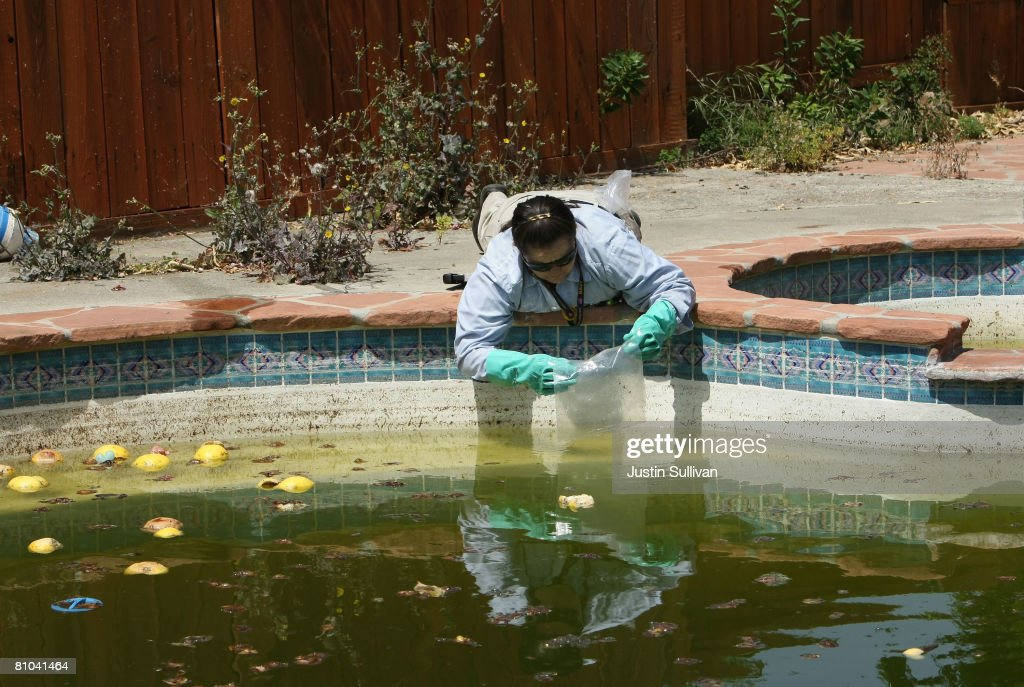 Contra Costa County Mosquito and Vector Control District technician Josefa Cabada releases a bag of Gambusia affinis, better known as 'Mosquito Fish' into a neglected pool at a foreclosed home May 9, 2008 in Concord, California. As home foreclossures continue to rise, neglected pools in foreclosed homes are becoming breeding grounds for mosquitos which may carry the West Nile virus. The Contra Costa County Mosquito and Vector District has seen a spike in calls from concerned citizens about abandoned pools and responds by treating the pools with chemicals and the release of fish that eat mosquito larvae.