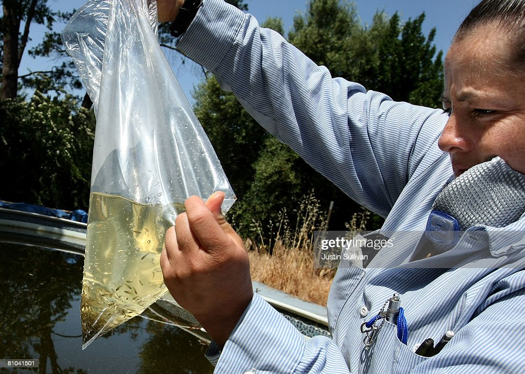 Contra Costa County Mosquito and Vector Control District technician Josefa Cabada prepares to release a bag of Gambusia affinis, better known as 'Mosquito Fish' into a neglected pool at a foreclosed home May 9, 2008 in Concord, California. As home foreclossures continue to rise, neglected pools in foreclosed homes are becoming breeding grounds for mosquitos which may carry the West Nile virus. The Contra Costa County Mosquito and Vector District has seen a spike in calls from concerned citizens about abandoned pools and responds by treating the pools with chemicals and the release of fish that eat mosquito larvae.