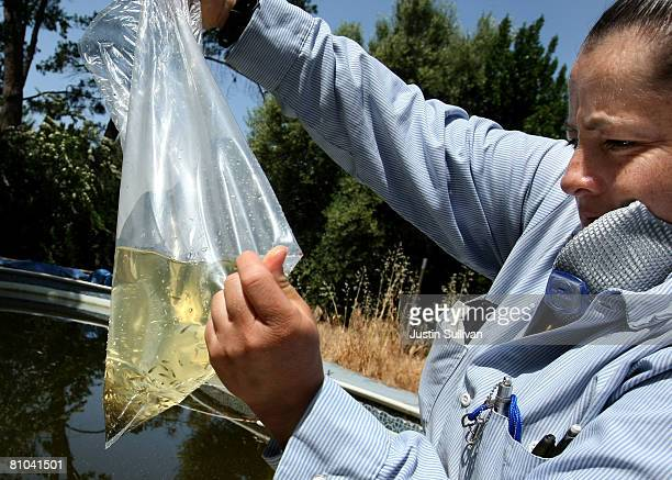 Contra Costa County Mosquito and Vector Control District technician Josefa Cabada prepares to release a bag of Gambusia affinis better known as...