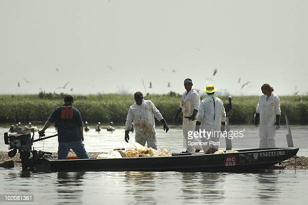 Contract cleanup workers remove oil from the sands of Queen Bess Island home to a number of bird species June 14 2010 in Grand Isle Louisiana...