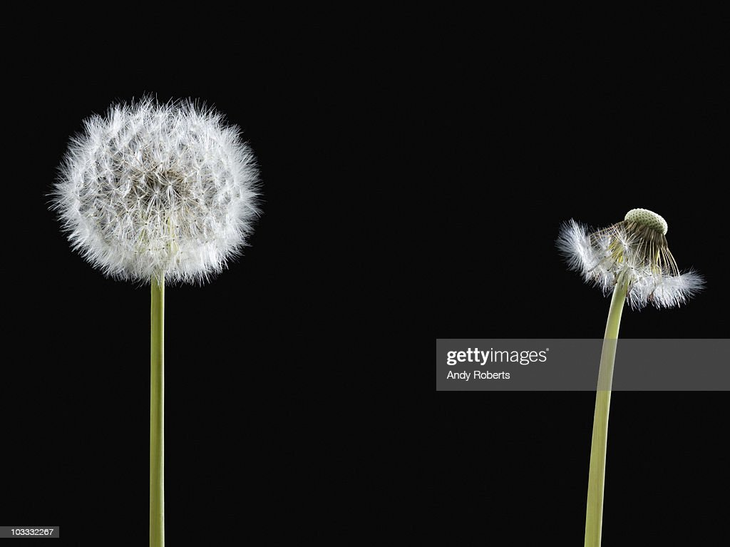 Contrast of dandelion with seeds and dandelion without : Stock Photo