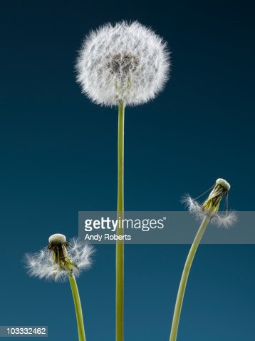 Contrast of dandelion with seeds and dandelions without : Stock Photo