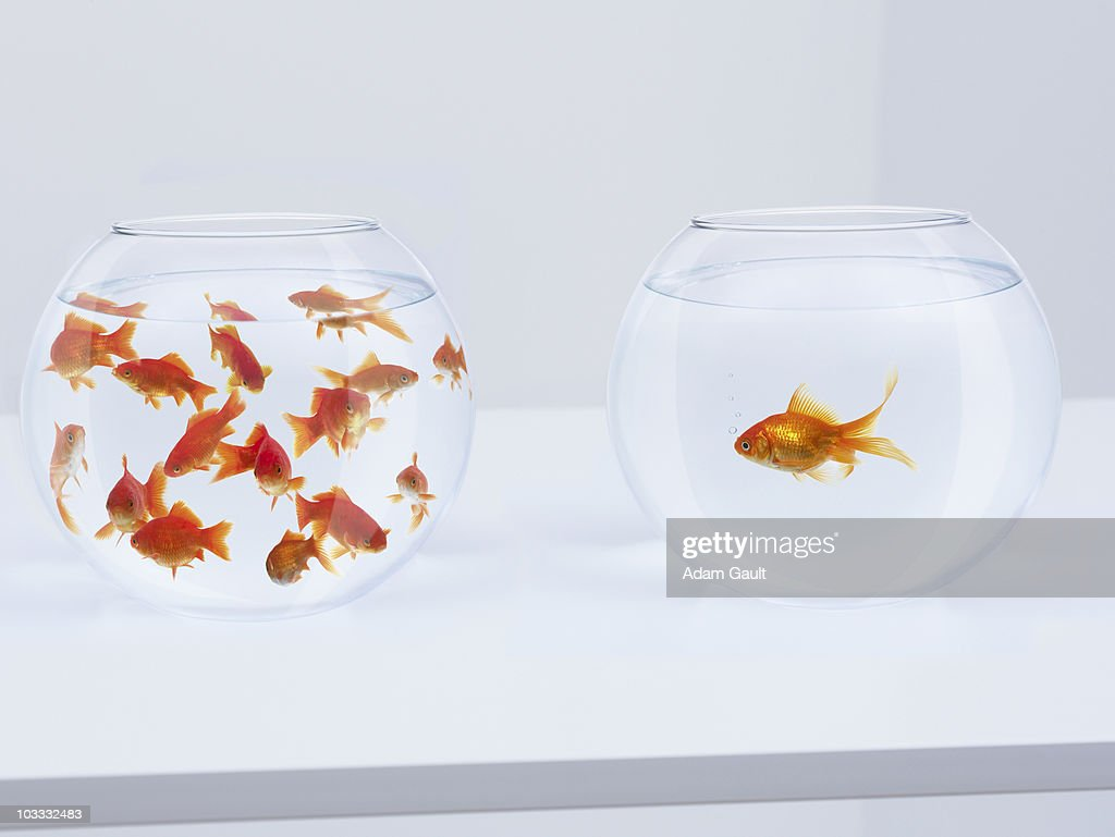 Contrast of  many goldfish in fishbowl and solitary goldfish in opposite fishbowl