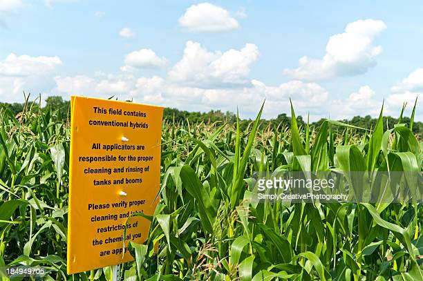 Hybride champ de maïs traditionnelle