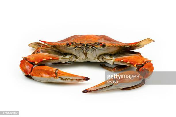 Cooked Blue Crab facing Camera on White Background
