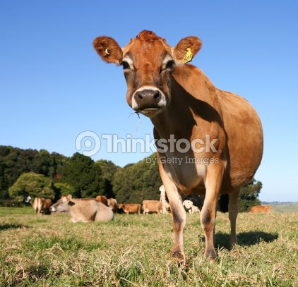 Cool Cow : Stock Photo