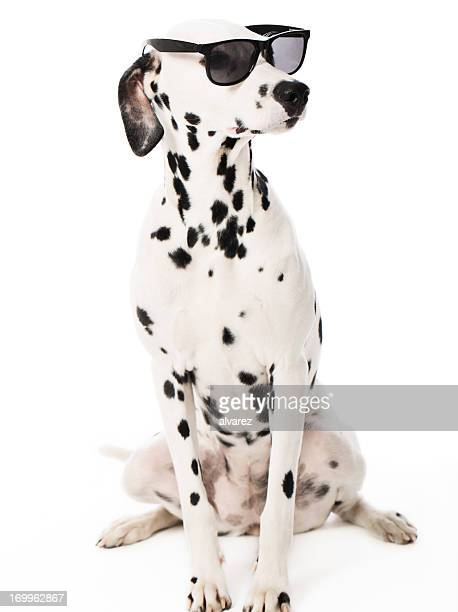 Cool Dalmatian with Sunglasses