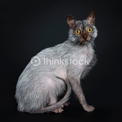 Cool Lykoi Werewolf Cat Sitting Side Ways With Tail Curled On Body