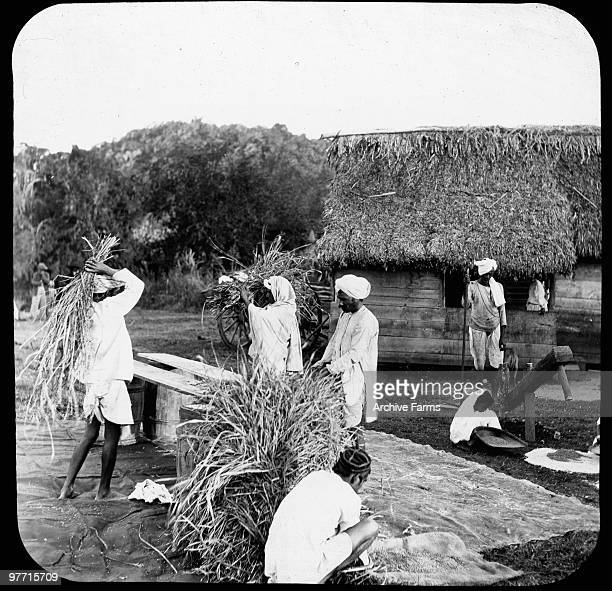Coolies Preparing Rice Jamaica British West Indies