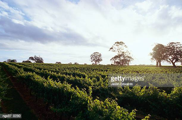 Coonawarra, South Australia. Twilight clouds over vineyards in Coonawarra, wine country.