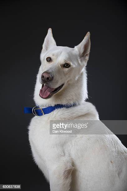 Cooper a threeyearold Siberian Husky cross breed who is looking for a new home sits for a portrait at Battersea Dogs and Cat's Home on December 28...