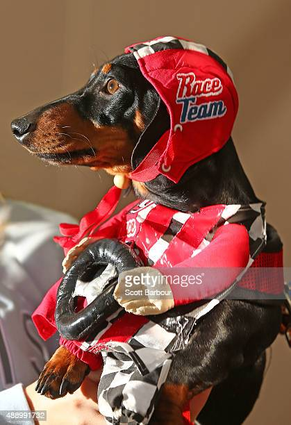 Cooper dressed as a racing car driver competes in the Hophaus Southgate Inaugural Best Dressed Dachshund on September 19 2015 in Melbourne Australia...