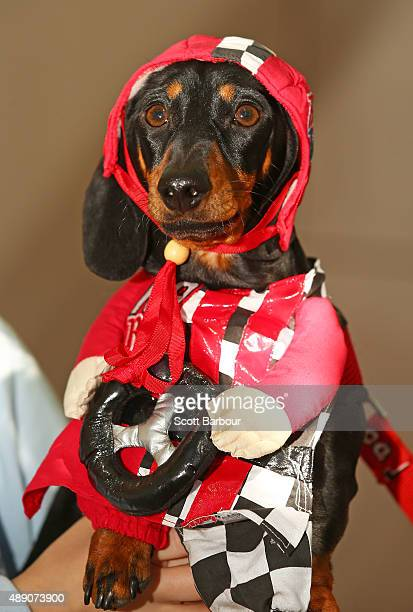 Cooper dressed as a racing car driver competes in the Hophaus Southgate Inaugural Best Dressed Dachshund competition on September 19 2015 in...