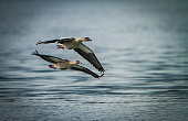 A couple of Egyptian Geese fly over Lake Naivasha
