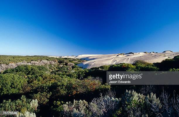 Coastal Tea Tree shrubs and white sand dunes against a vast blue sky.