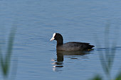 coot swims over the surface of a pond and hunts for food