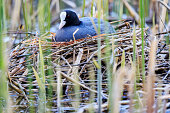 coot sitting on a nest of reeds, wildlife birds