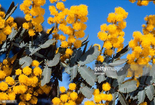 Cootamundra wattle Acacia baileyana in flower typical group of globular inflorescences and pinnate leaves bushy shrub or small tree that occurs...